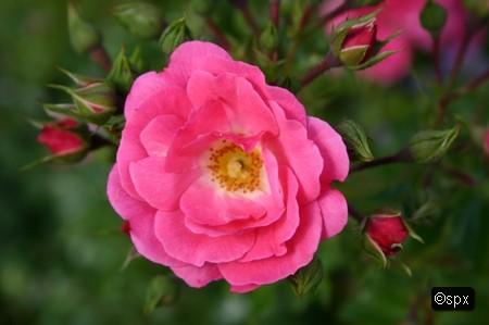 Blume 45 (spx)