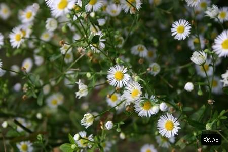 Blume 46 (spx)