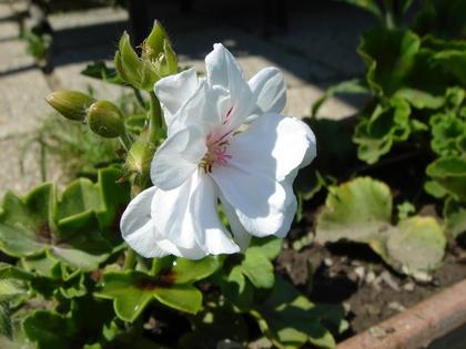 Blume 47 (spx)