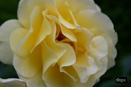Rose 4 (spx)