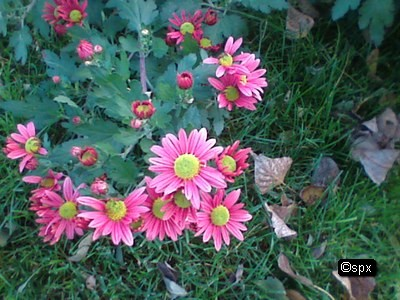 Blume 48 (spx)
