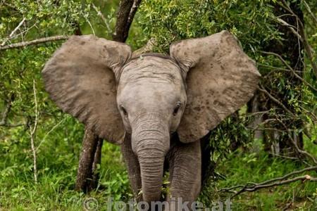 Elefant-3