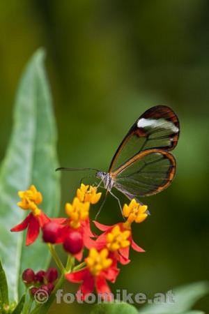 Glas_Schmetterling-2
