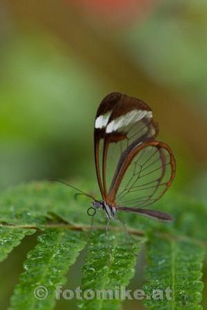 Glas_Schmetterling